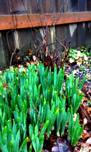 Daffodils?