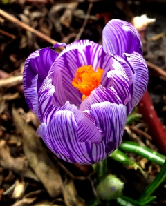The most amazing crocus I've ever seen
