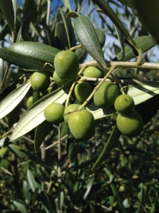 Arebequina Olives. Its almost Olive Harvest time in Oregon!