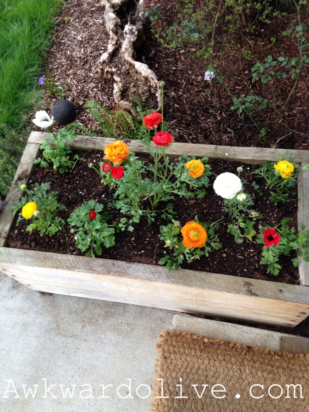 Planted  Ranunculus and Anemones outside my front door